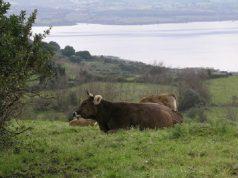 bovini-maschi-riproduttori-un-milione-per-l-and-rsquo-acquisto